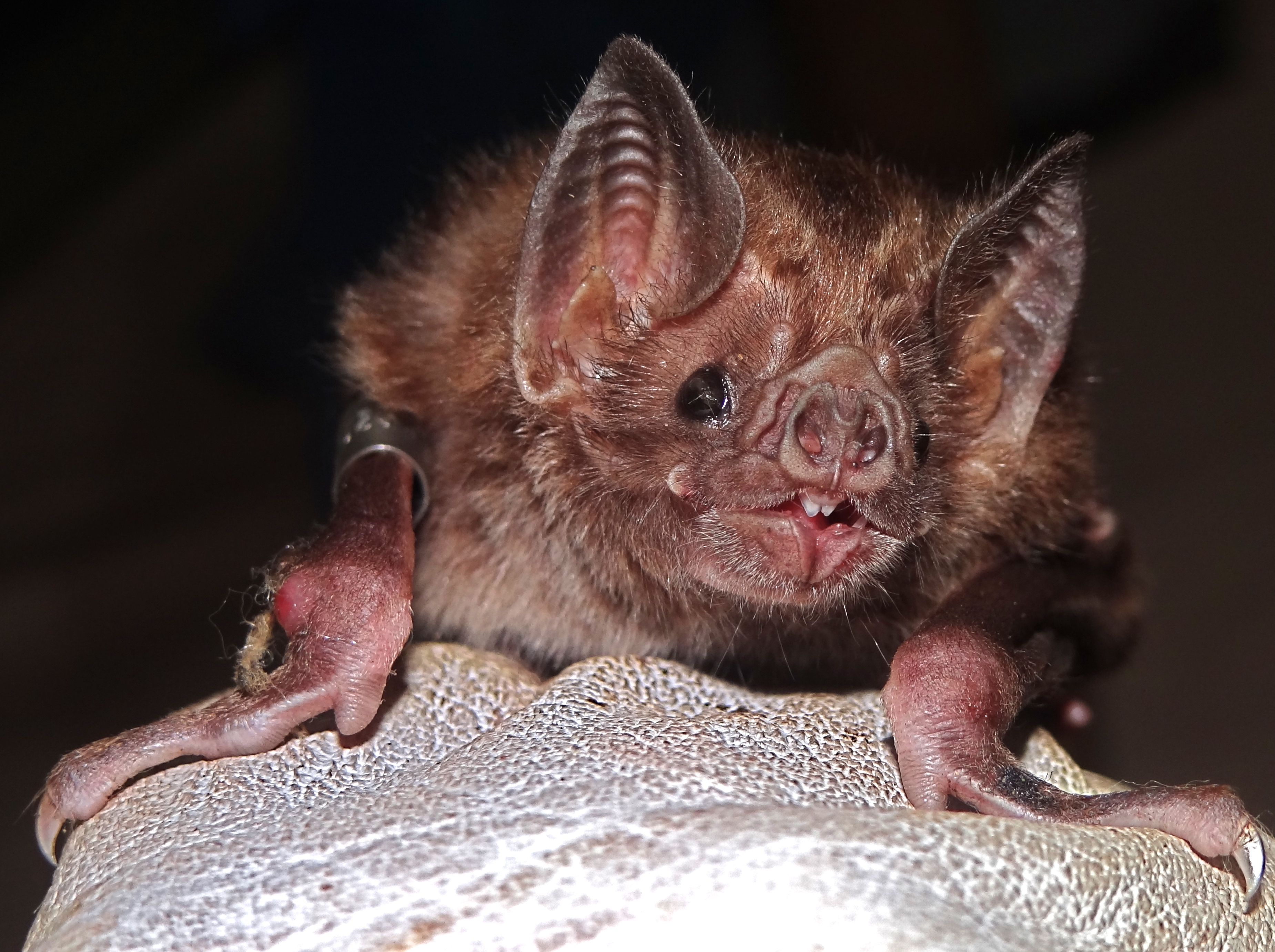 Culling Vampire Bats To Stem Rabies In Latin America Can