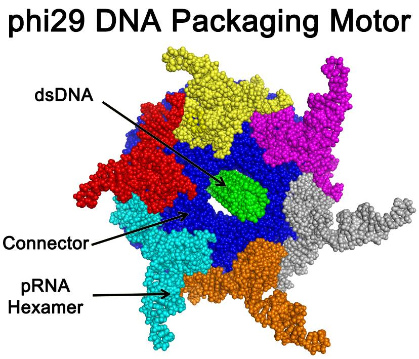 Viral Nano News Viralnanonews: Discovery Of First Motor With Revolution Motion In A Virus