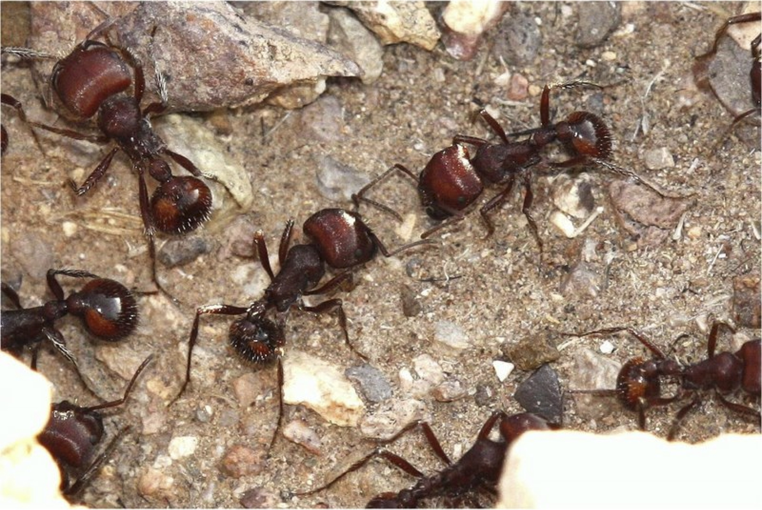 shapes new rules for ant behavior