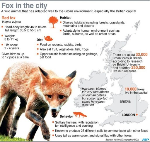 Graphic on the red fox, a wild animal that has adapted well to London's urban environment.