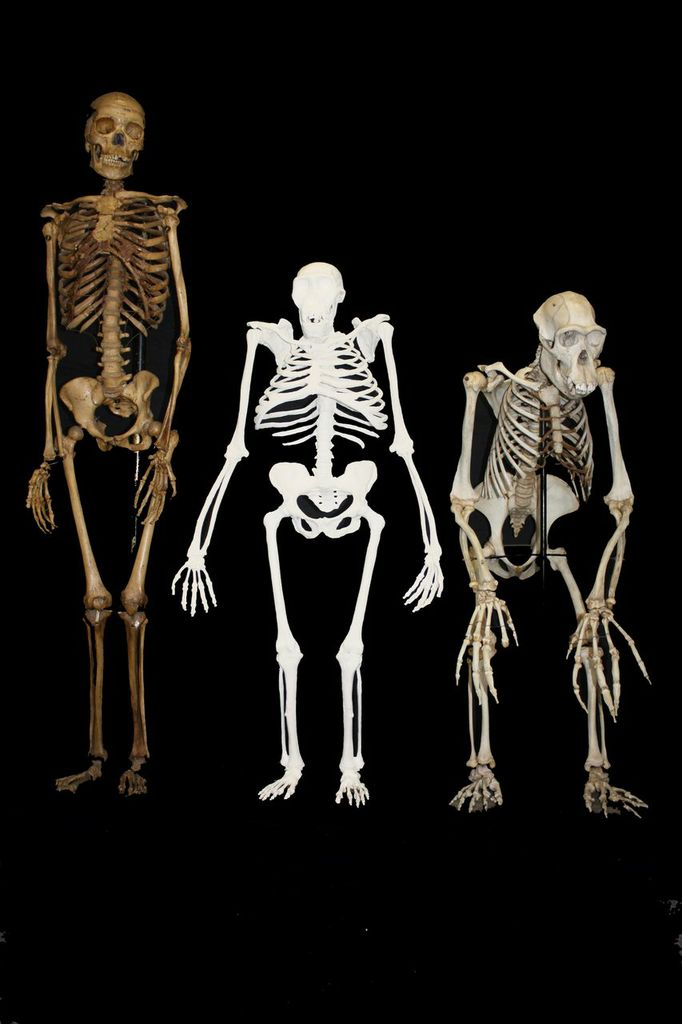 which early hominid fossils provide the strongest evidence of bipedalism