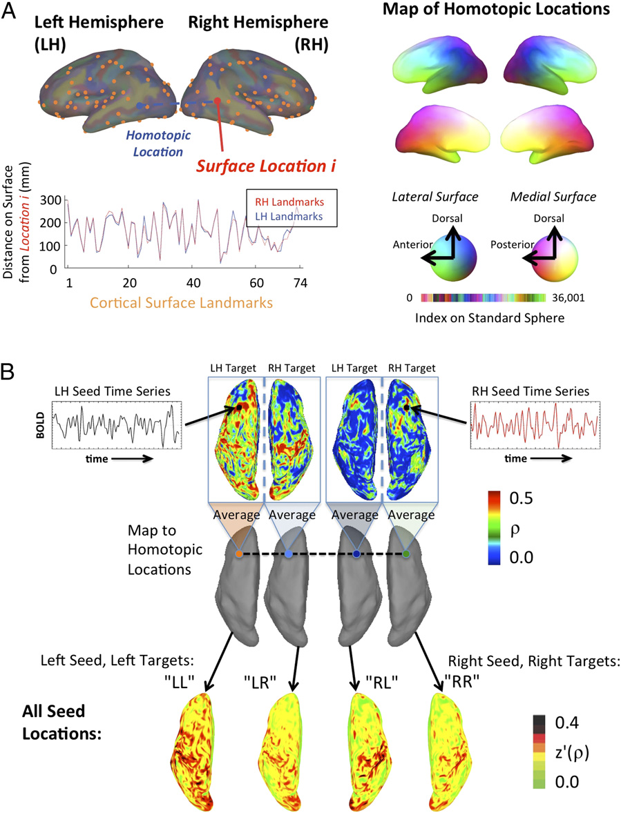 Left Brain Right Brain Different Patterns Of Cortical Interaction