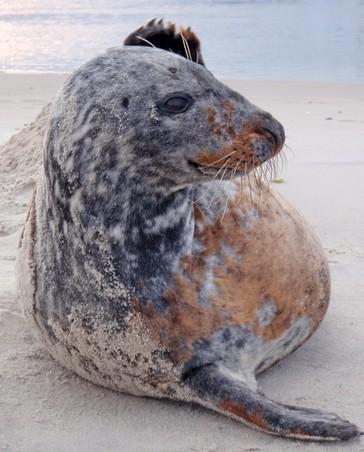 grey seals travels hint at animals unknown habits
