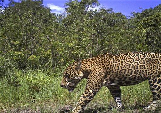 guyana pledges to protect jaguars update