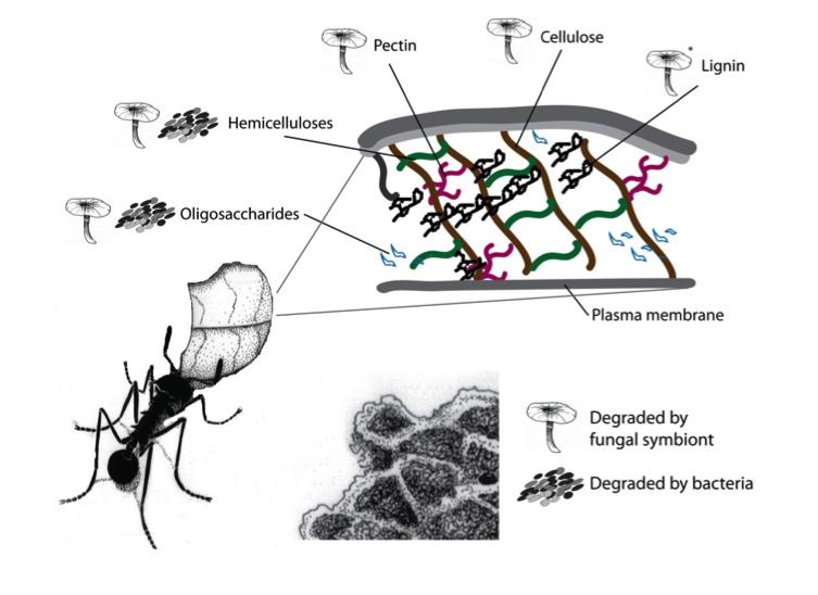 genomics of cellulosic biofuels