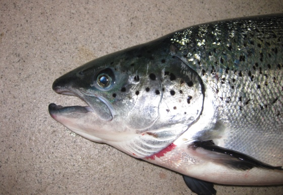 Melanin pigmentation in salmon fillets causes and risk factors for Fishing spots around me