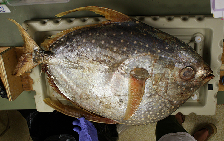 Mercury levels in Pacific fish likely to rise in coming decades, study reports
