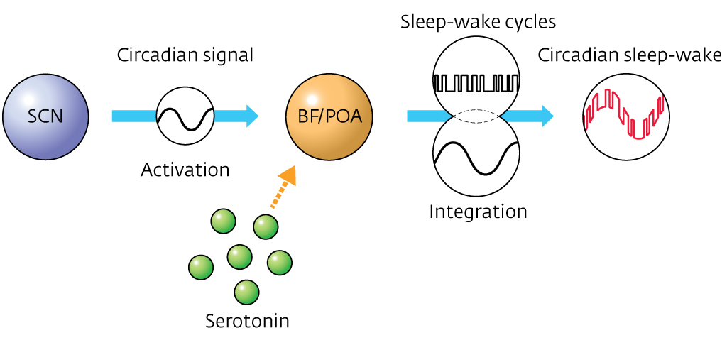 Neurotransmitter Serotonin Shown To Link Sleep Wake Cycles