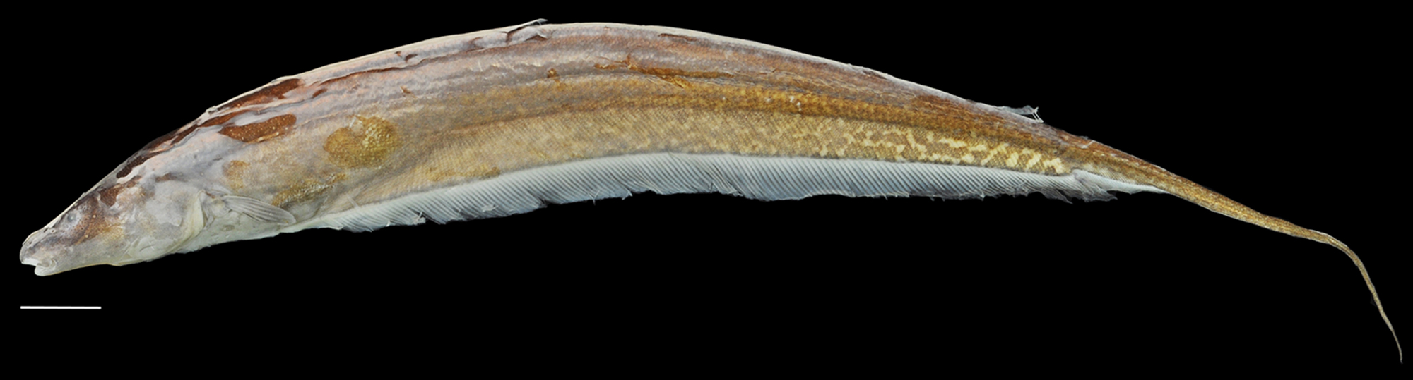 Genus of electric fish discovered in lost world of south america new genus of electric fish discovered in lost world of south america sciox Images