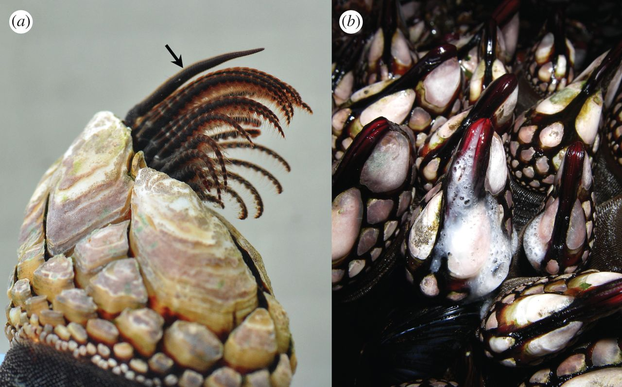new research shows some barnacles mate via spermcasting