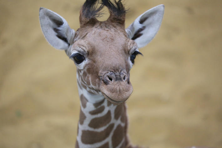 Tongue Length and Other Things You Should Know About Giraffes