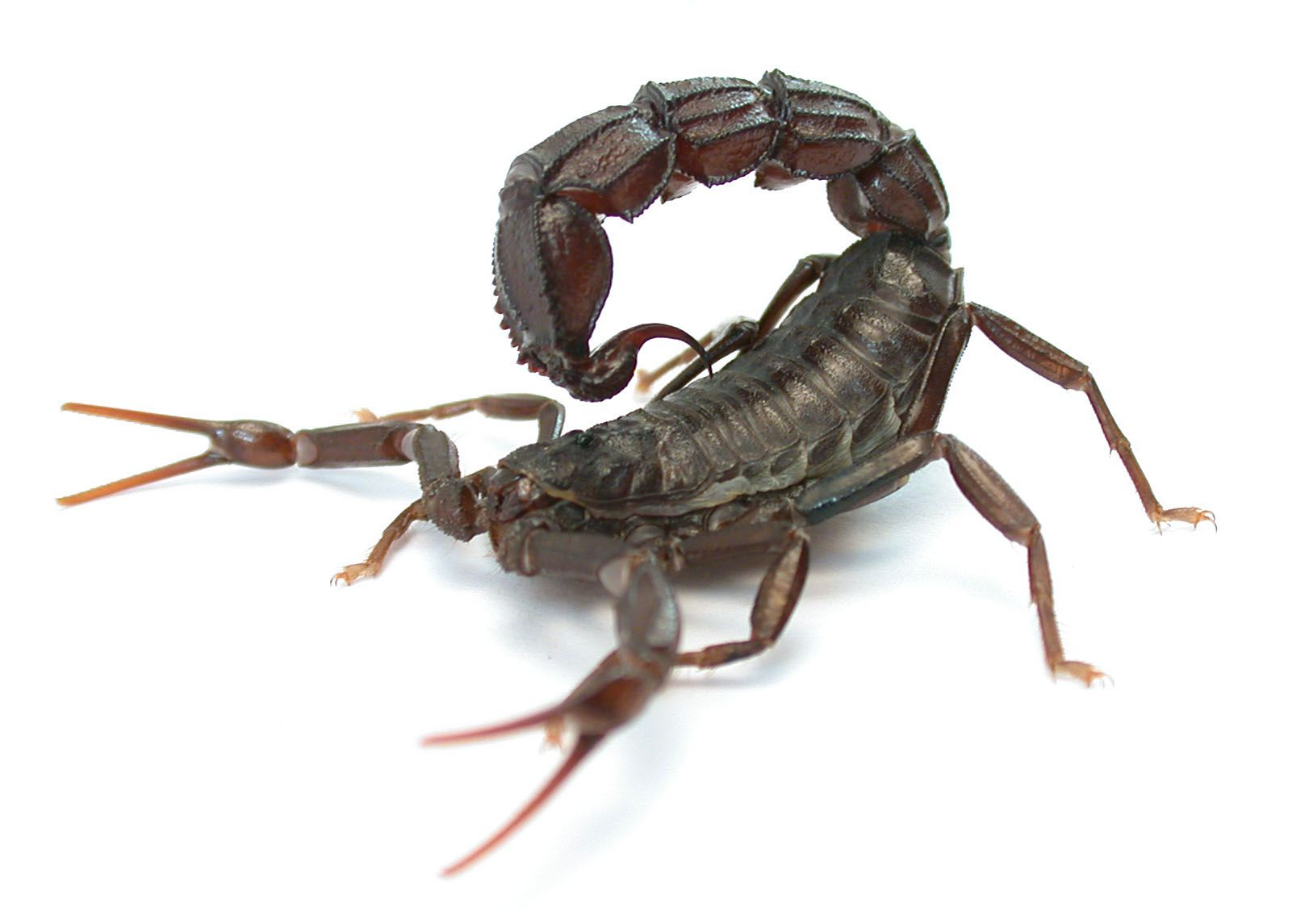 Image result for YOUR BEST OPTION AGAINST SCORPION PEST ATTACKS