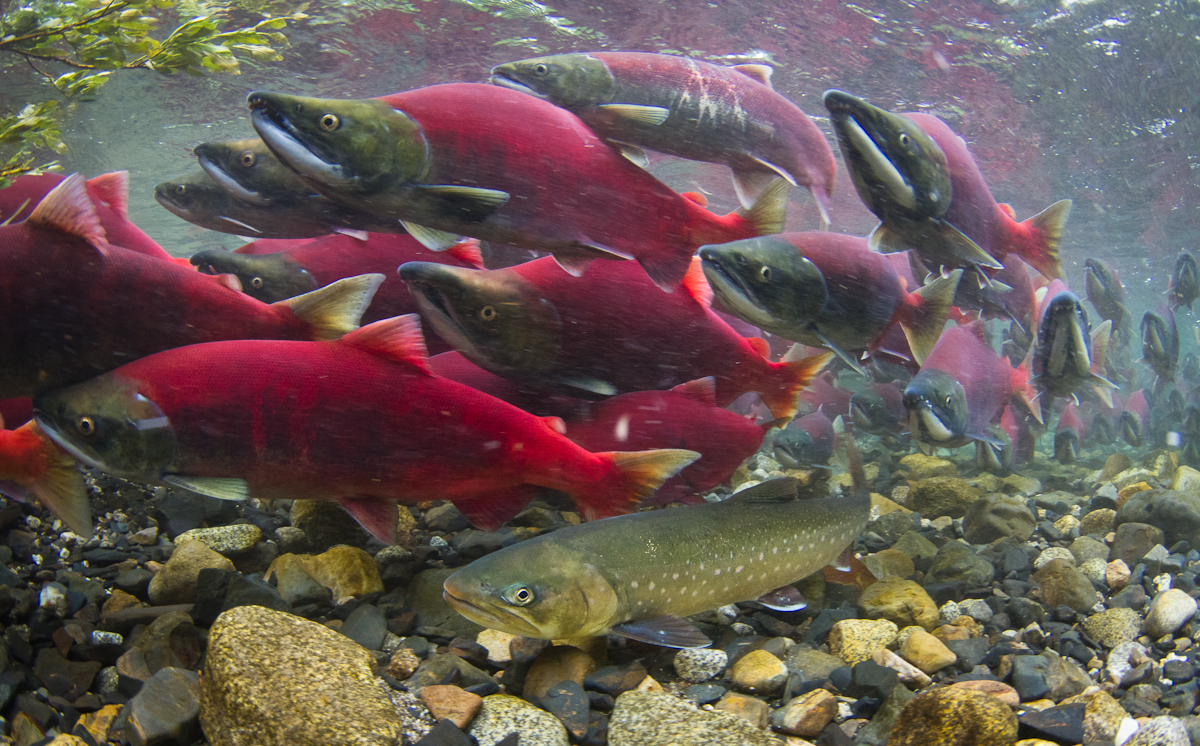 Some Alaskan trout use flexible guts for the ultimate binge diet