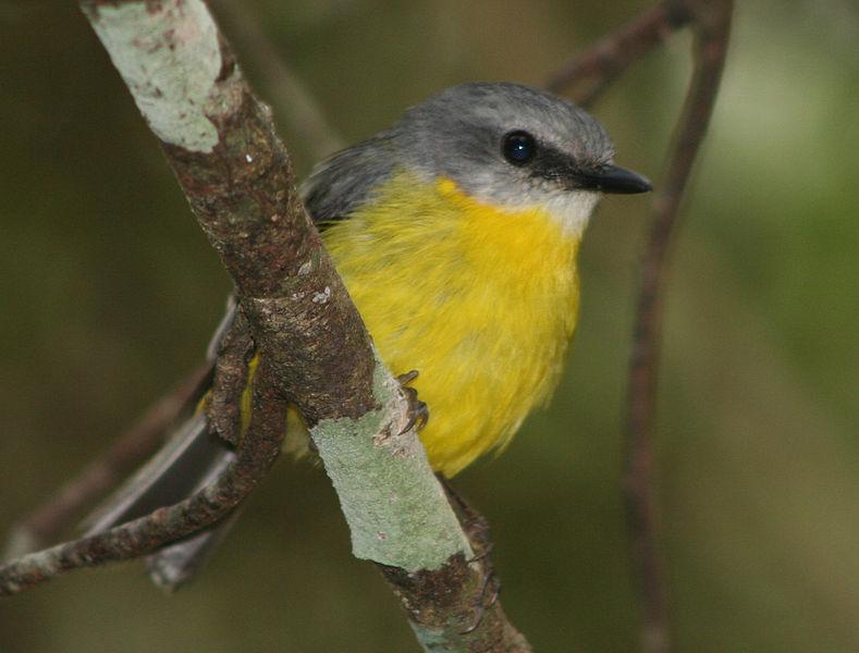 ¿Cuáles son algunos ejemplos de pájaros cantores pequeños? | Reference.com