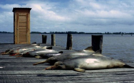 Rare dolphin species threatened by big fishnets
