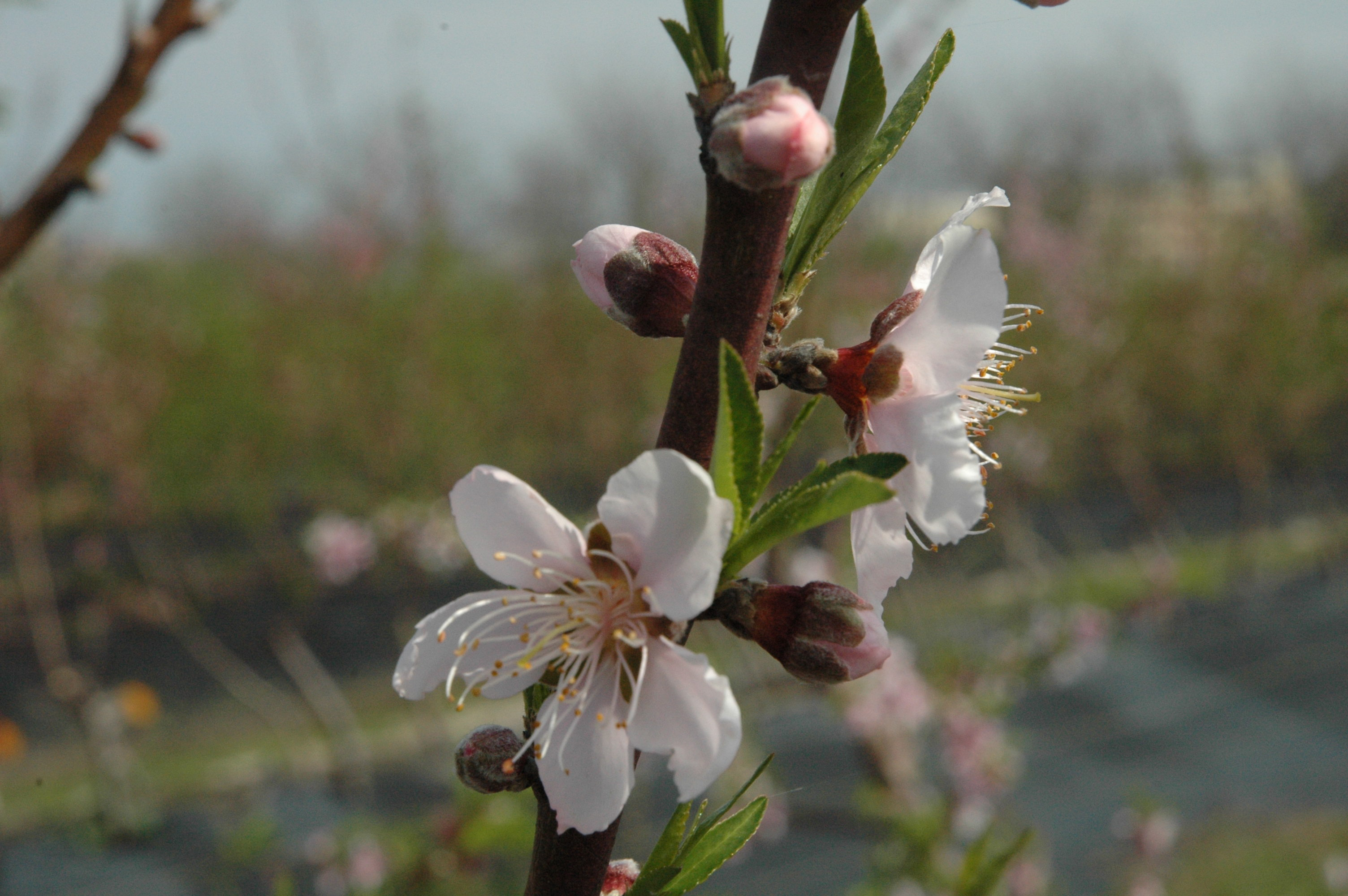 White Delight New Peach Varieties Released For Warmer Climates