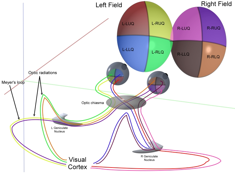 Wiring up the visual system requires precise temporal control of ...