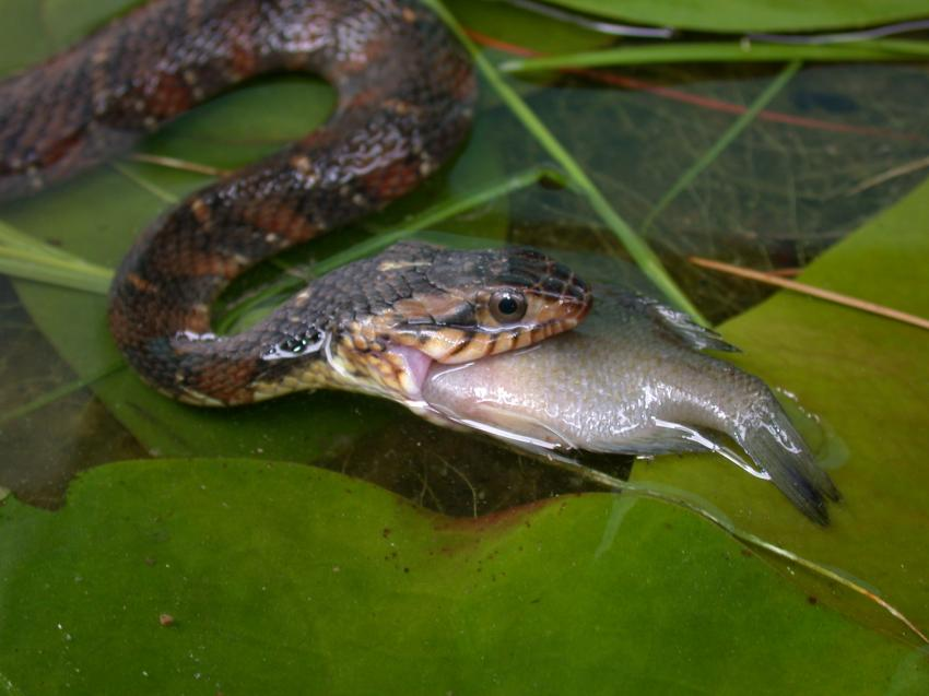 Invasive watersnakes introduced to california may pose for Freshwater fishing in southern california