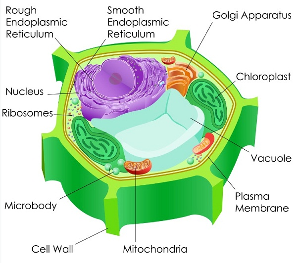 Join mitochondria in signalling pathways creation mitochondria chloroplasts and peroxisomes are linked metabolically through photorespiration ccuart Choice Image