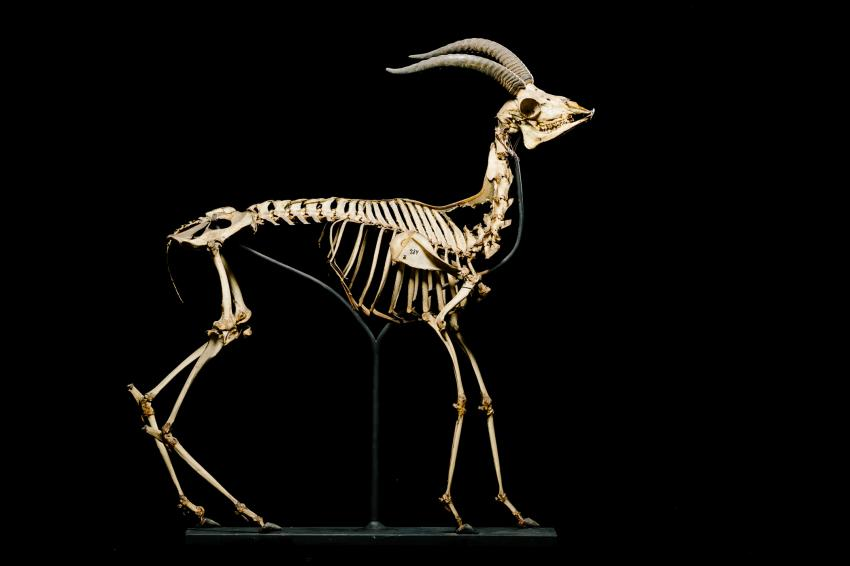 Small Mammal Skeletons~Cleaning & Articulation~Linx Skeletons~Bones