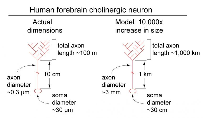 Neuron size mersnoforum neuron size ccuart Choice Image