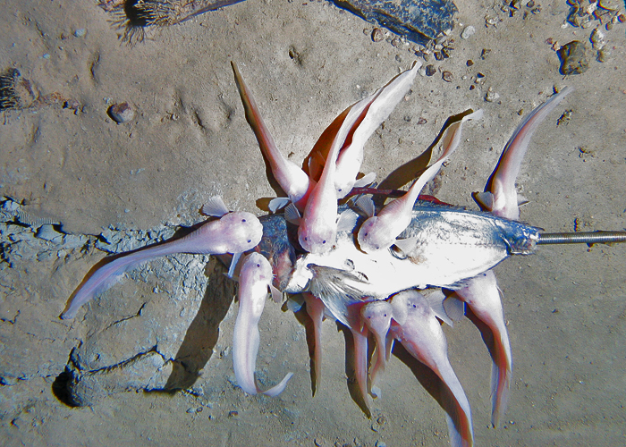 Scientists explore one of earths deepest ocean trenches life in trenches like the kermadec how do animals survive there credit alan jamieson oceanlab university of aberdeen publicscrutiny Images