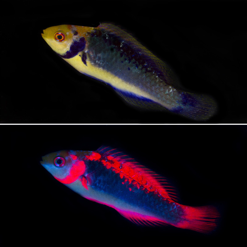 Researchers find red fluorescence in fish is for vision for Uv fishing light