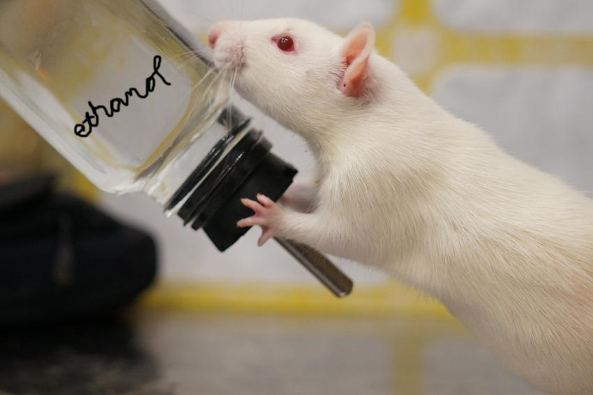 Rat Not Drinking Water