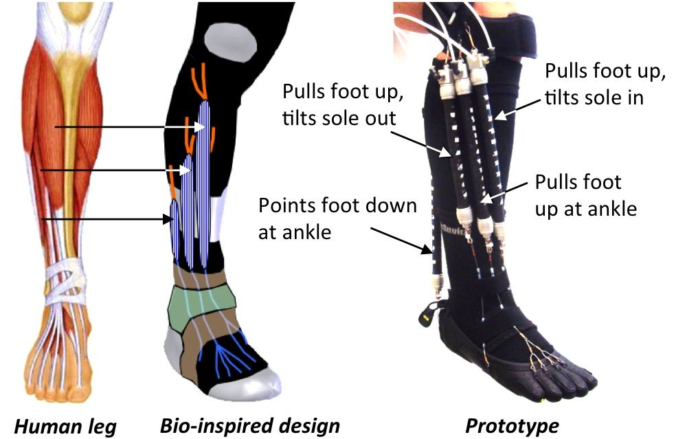 Bio Inspired Robotic Device Could Aid Ankle Foot Rehabilitation