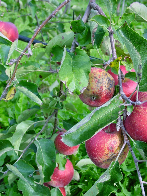 CONTROL OF APPLE SCAB (Venturia inaequalis) BY ...