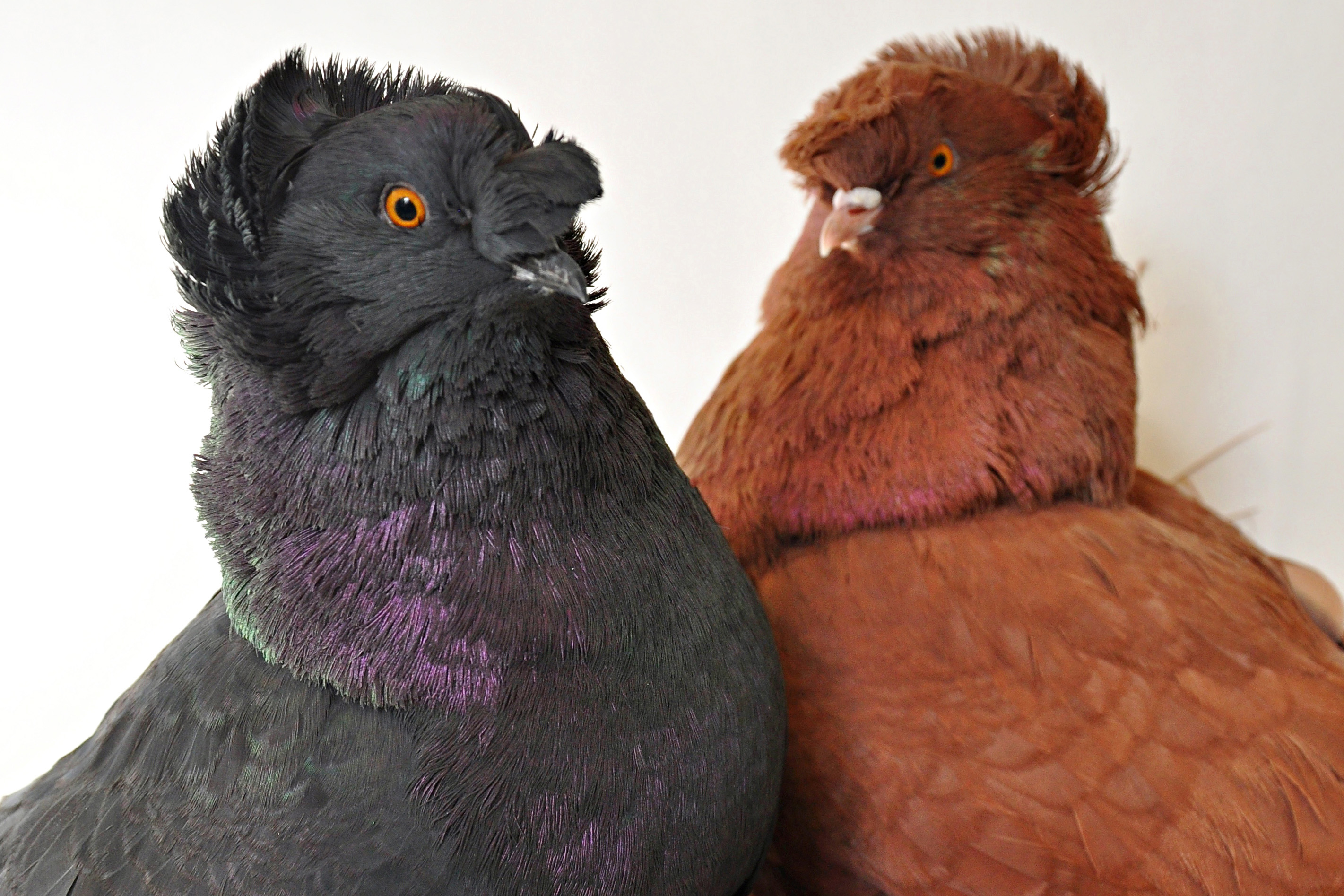 Birds of a different color: Three major genes set feather ...