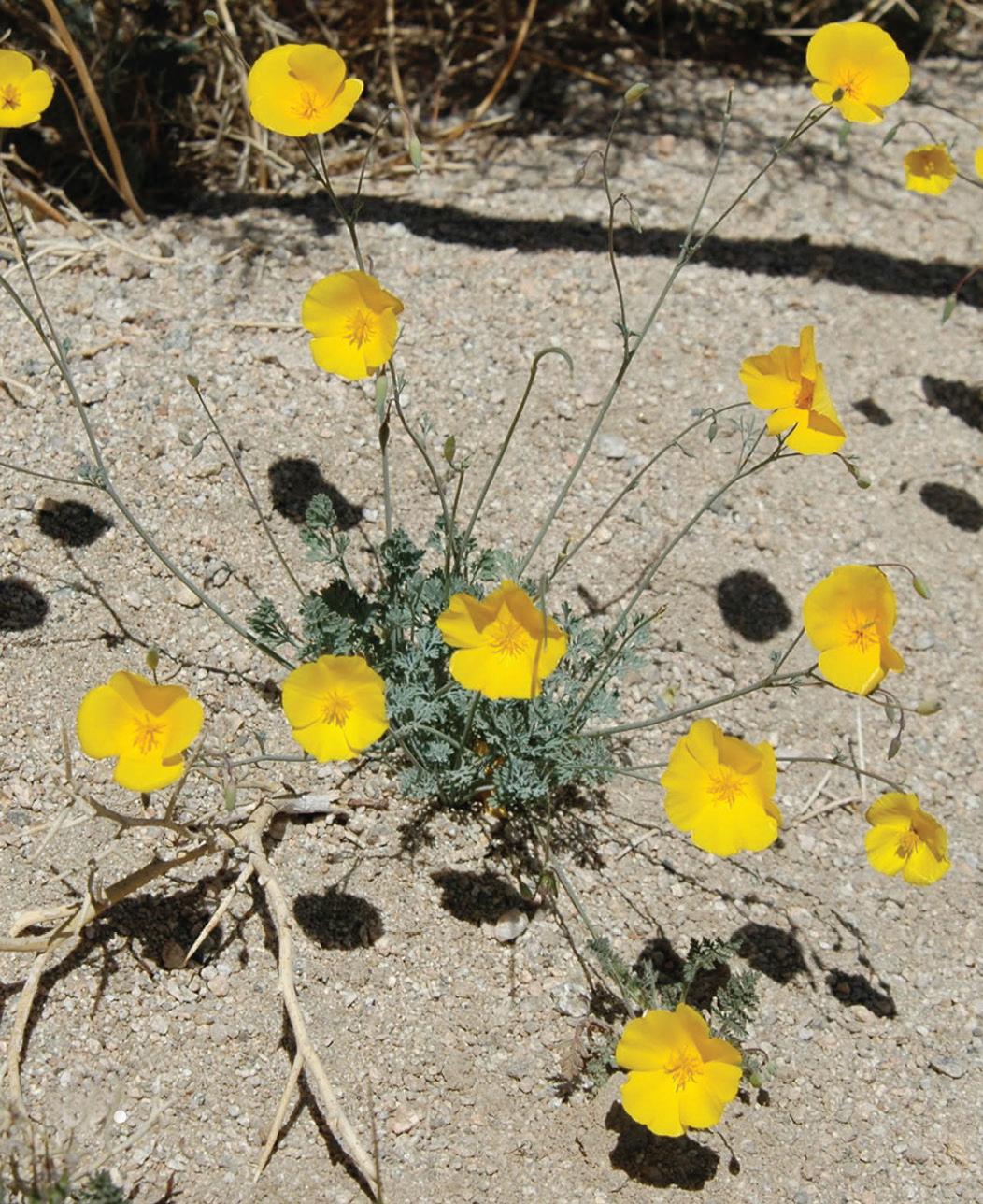 California And Arizona Amaze With Two New Species Of Desert Poppy