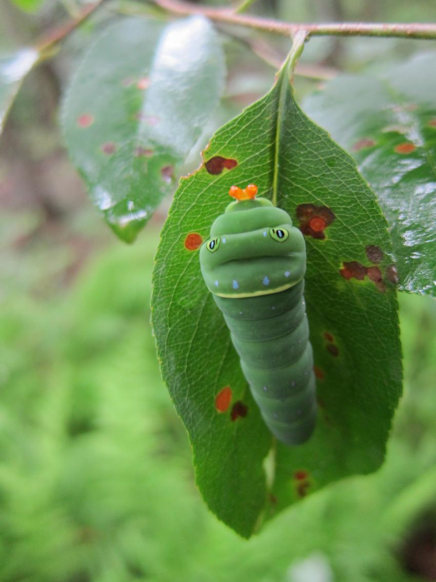 Caterpillars That Eat Multiple Plant Species Are More Susceptible To