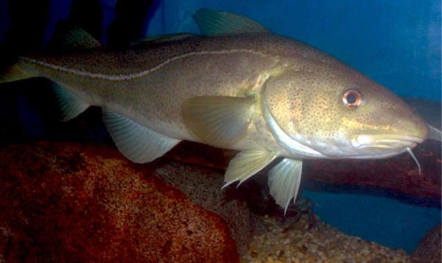 Changes in forage fish abundance alter Atlantic cod ...