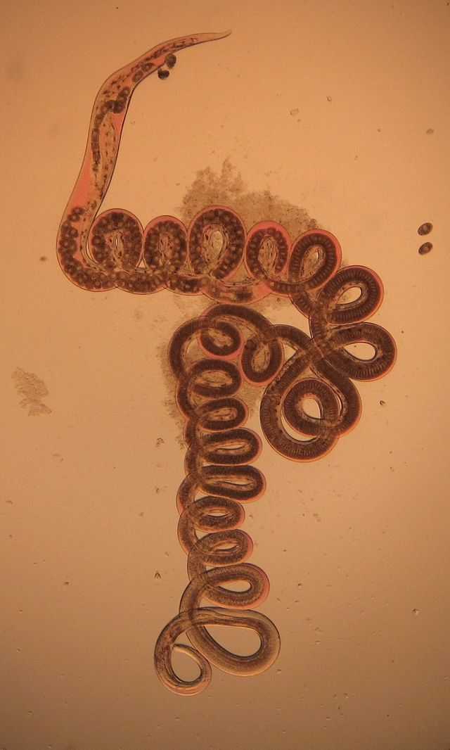 Fighting Parasitic Infection Inadvertently Unleashes