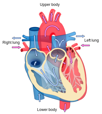 Resuming exercise soon after heart attack can improve heart recovery heart diagram credit wikipedia ccuart Images