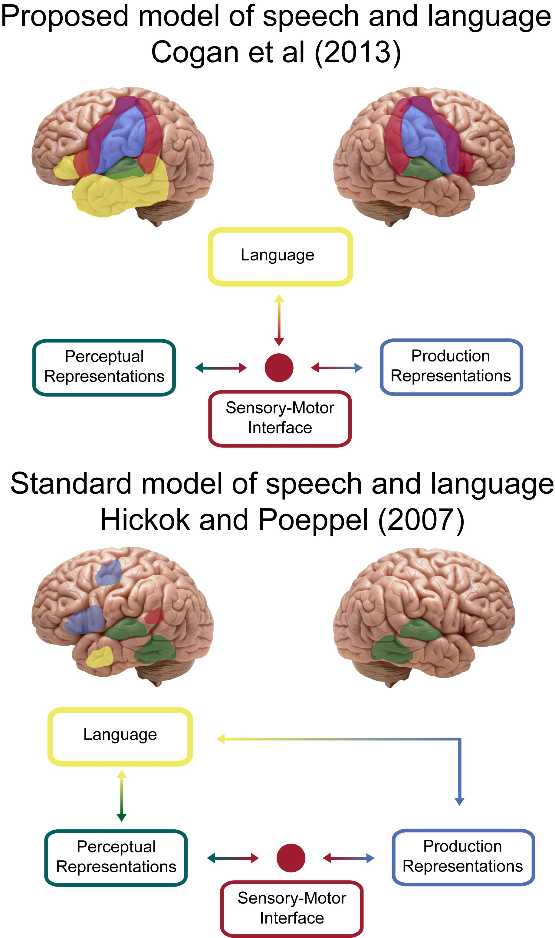 Study Speech Processing Requires Both Sides Of Our Brain