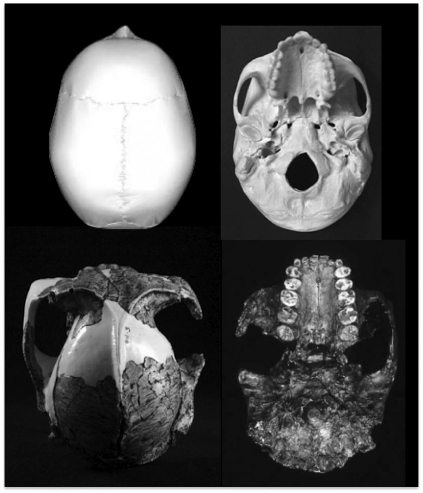 Homo' is the only primate whose tooth size decreases as its brain ...