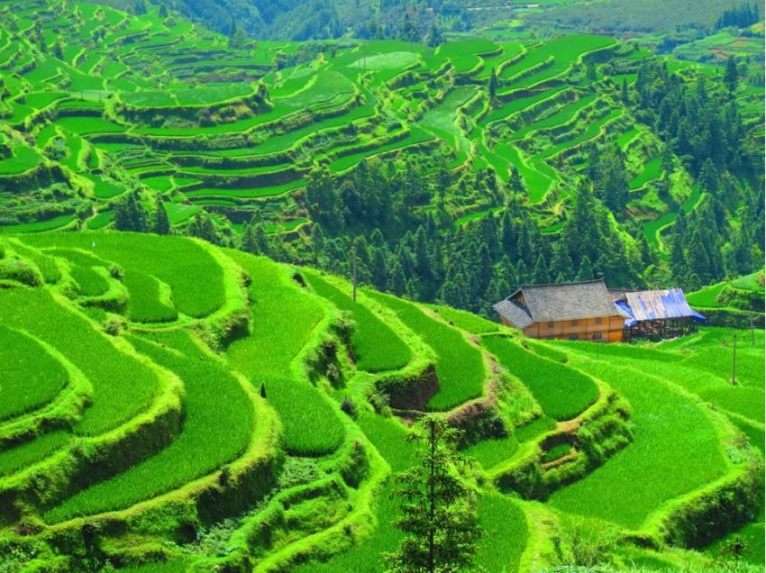 Golden farmland scenes in Hanzhong, Shaanxi province[1 ...  |China Farmland