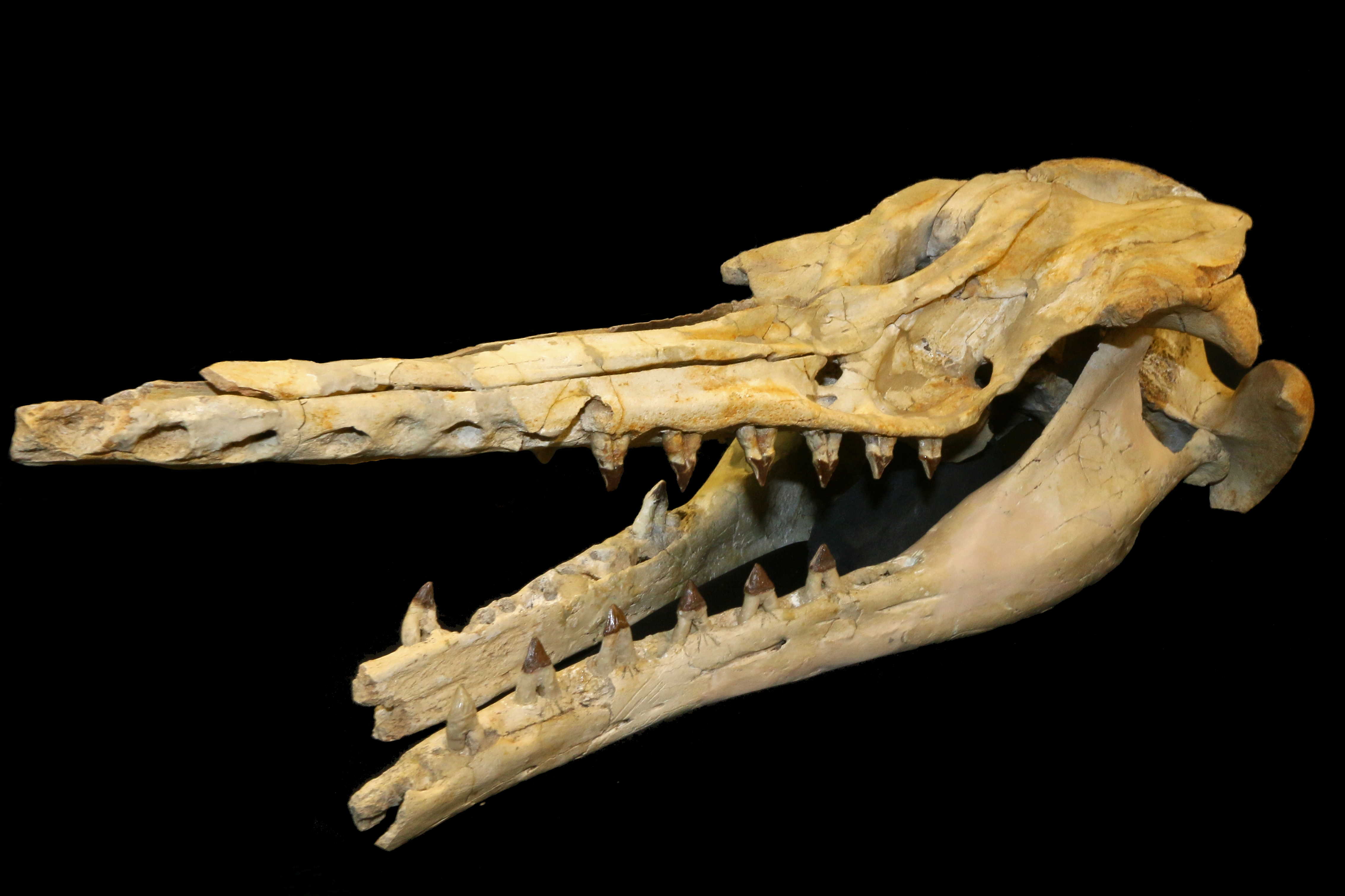 New fossil species supports early origin of echolocation in toothed ...