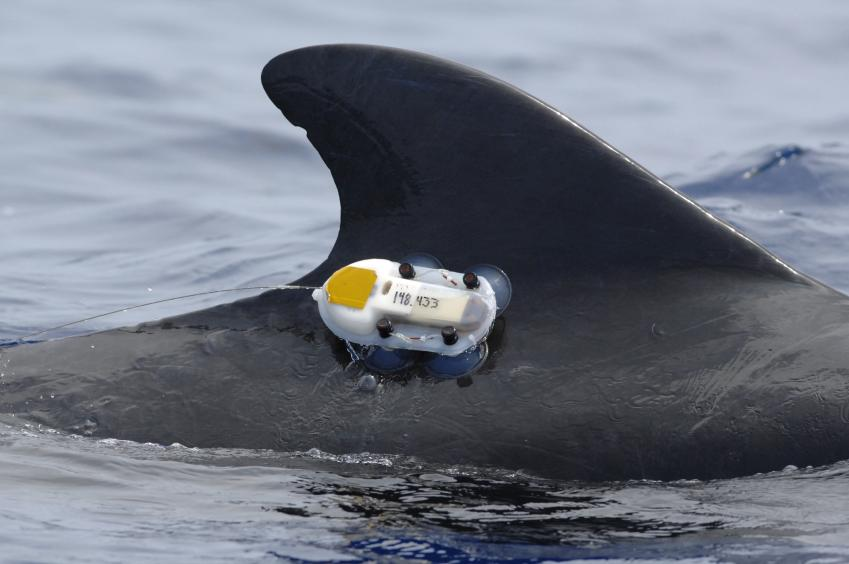 Law of the Sea authorizes animal tagging research without ...