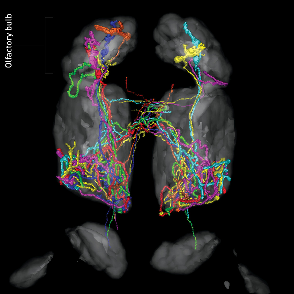 Map Of Brain Connections Provides Insight Into Olfactory