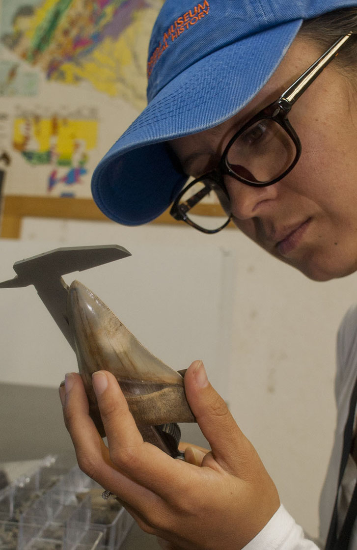 Megalodon Shark Became Extinct 2 6 Million Years Ago