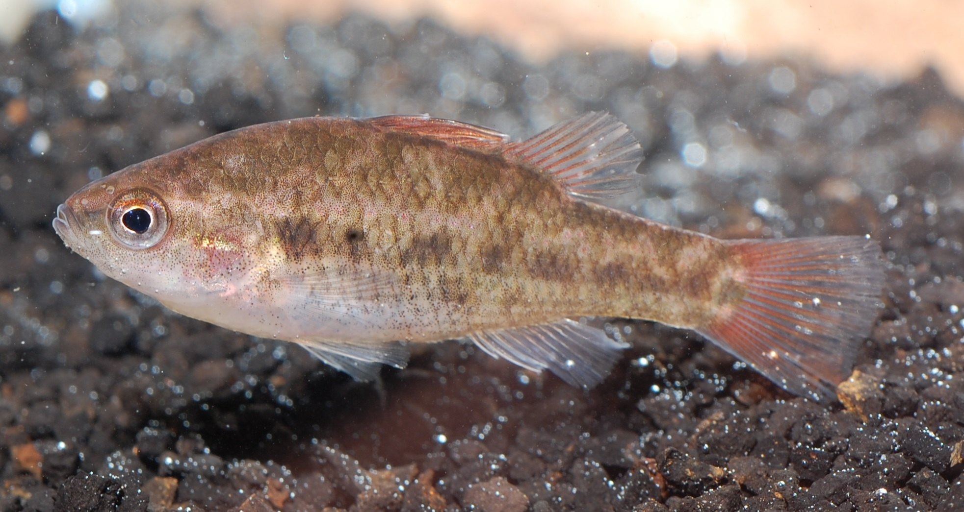 Freshwater juvenile fish - New Populations Of Endangered Fresh Water Fish Found