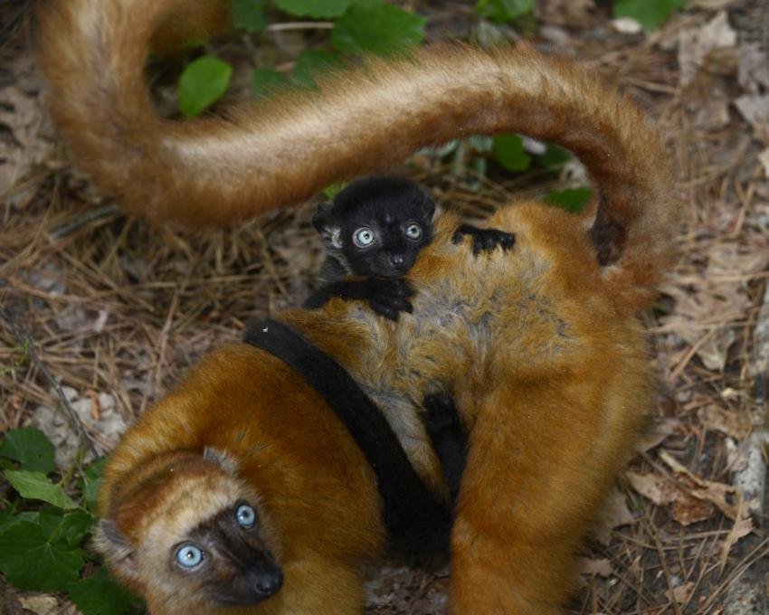 Nearly 50 years of lemur data now available online (w/ Video)