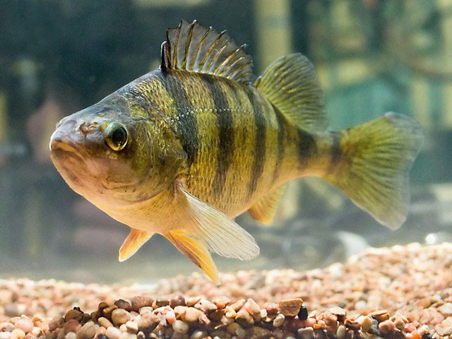 Yellow perch fish images galleries for Yellow perch fishing secrets