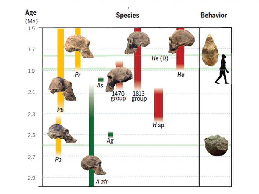 Hominid Evolution Timeline Scientists revise time...
