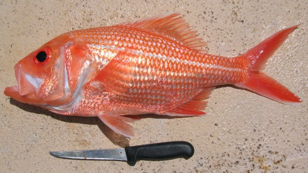 Oldest fish on record caught off albany for Red fish pictures