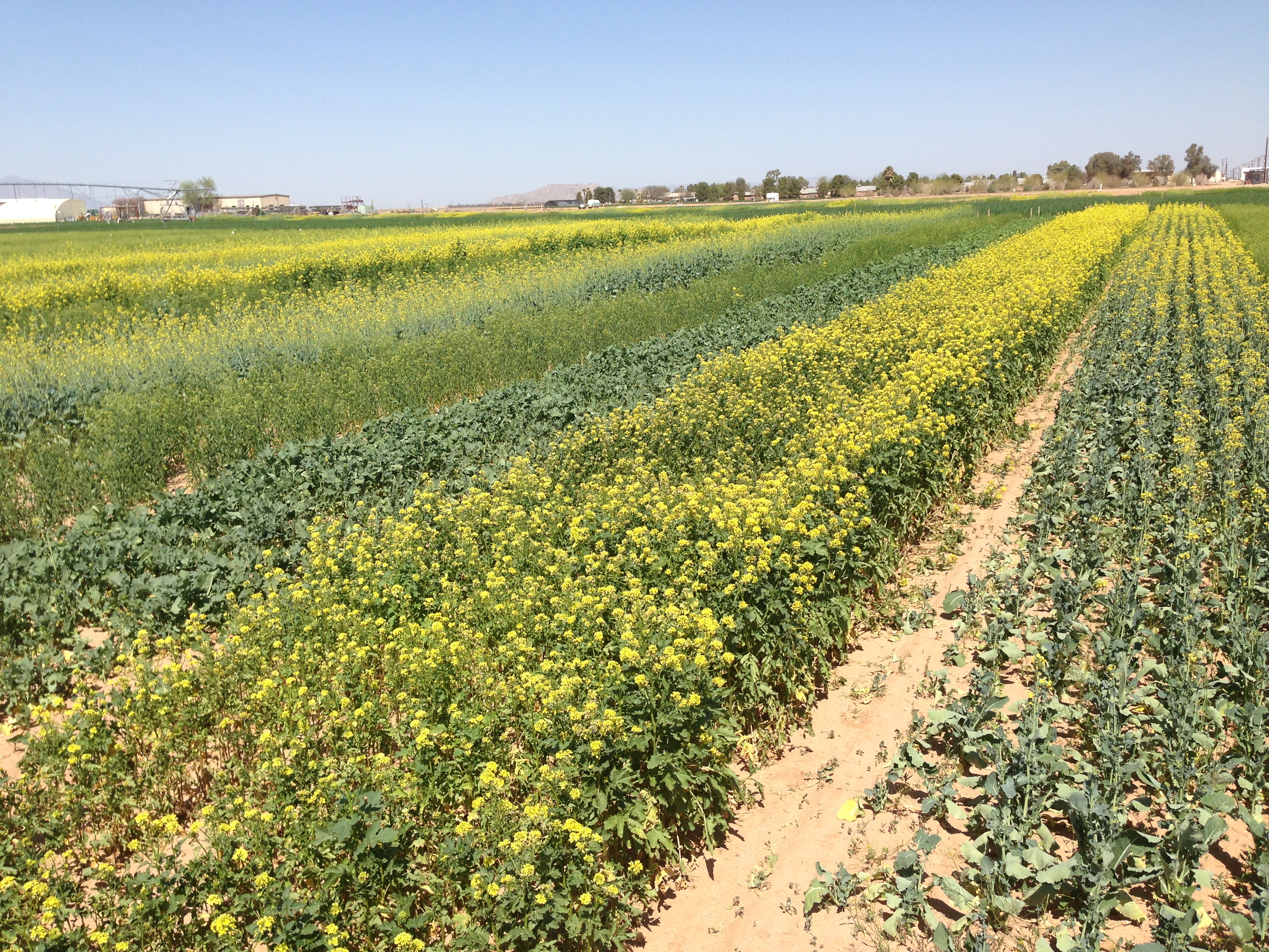 Science Could Make Canola Oil More Nutritious And Broccoli More Tasty