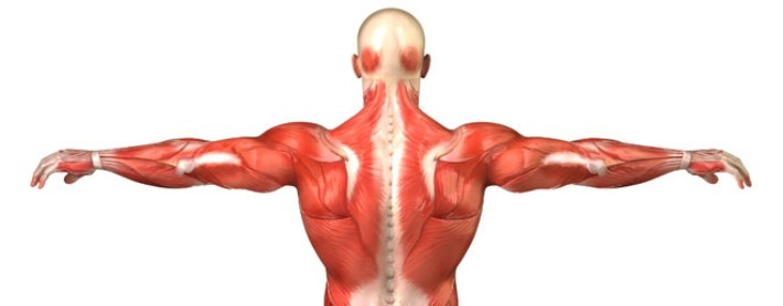 scientists piecing together jigsaw puzzle of muscle growth, Muscles